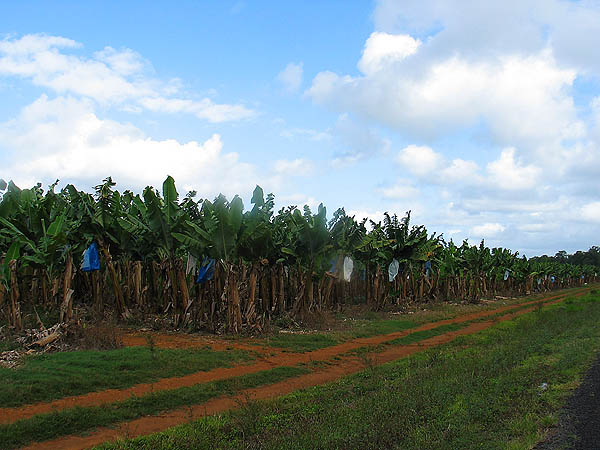 Australia 2004: Banana Fields