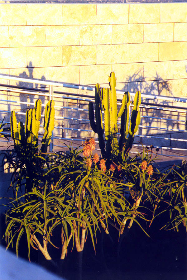 Getty 2000: Cactus at Sunset