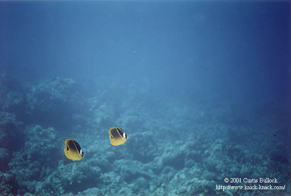 Hawaii: SCUBA Racoon Butterflyfish