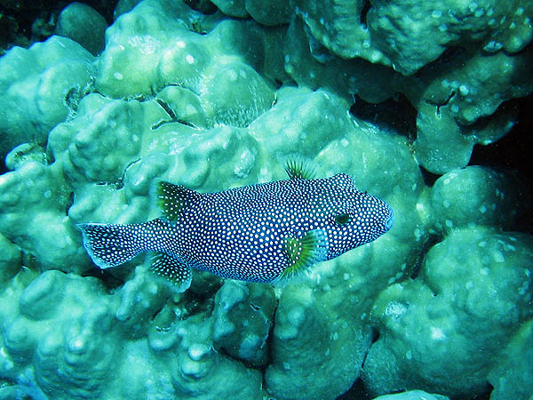Hawaii 2006: Snorkeling: Spotted Pufferfish