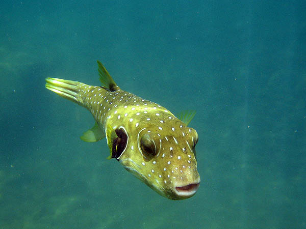 Hawaii 2006: Snorkeling: Stripebelly Pufferfish
