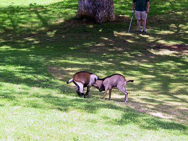 Jamaica 2002: Golf Goats