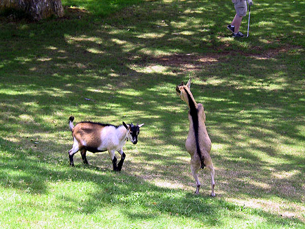 Jamaica 2002: Golf Goats 02
