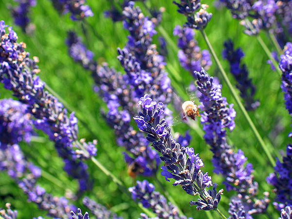 Lavender Festival 2004: Lavender and Bee