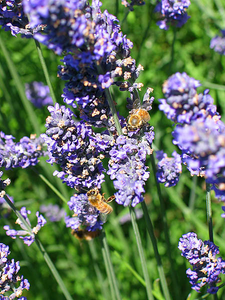 Lavender Festival 2004: Lavender and Bees
